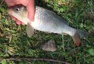 退水戲小鯉