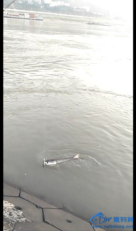 被拉出水面的鳡鱼