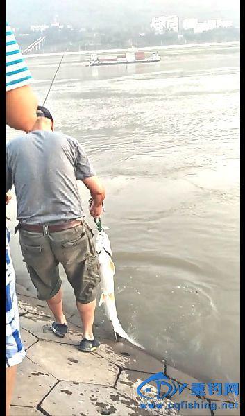 被提出水面的鳡鱼