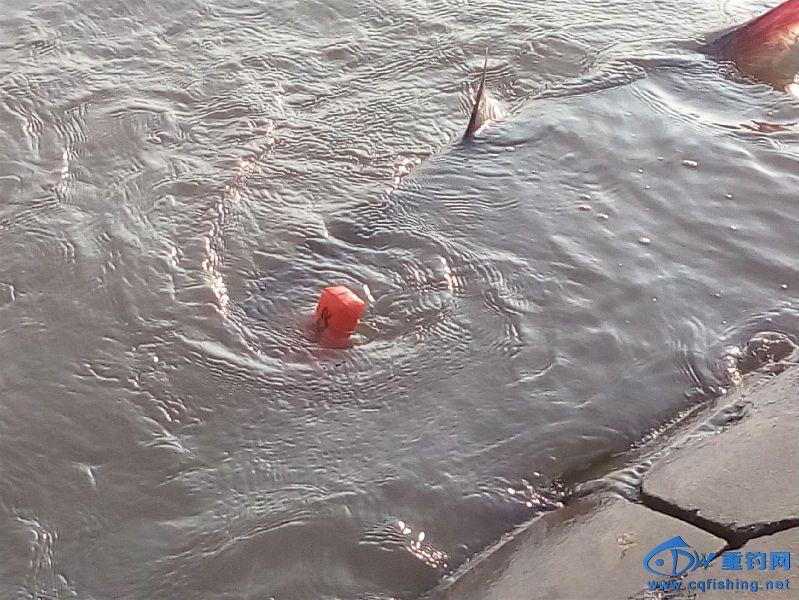 被重新放入水中的鳡鱼