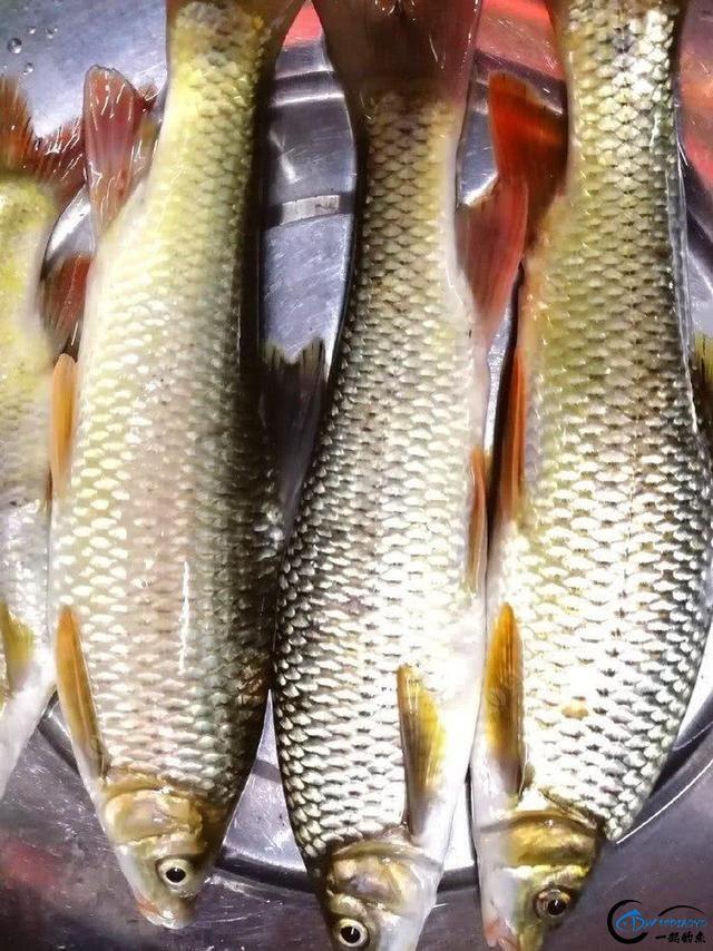 此鱼是西南地区的钓鱼者专属美味,对水质要求极高-5.jpg