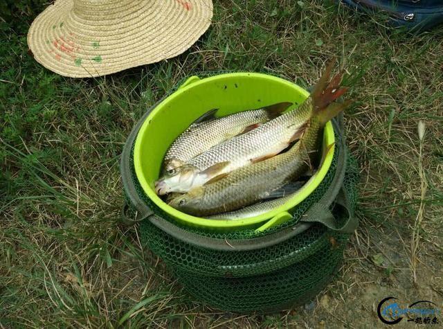 此鱼是西南地区的钓鱼者专属美味,对水质要求极高-17.jpg