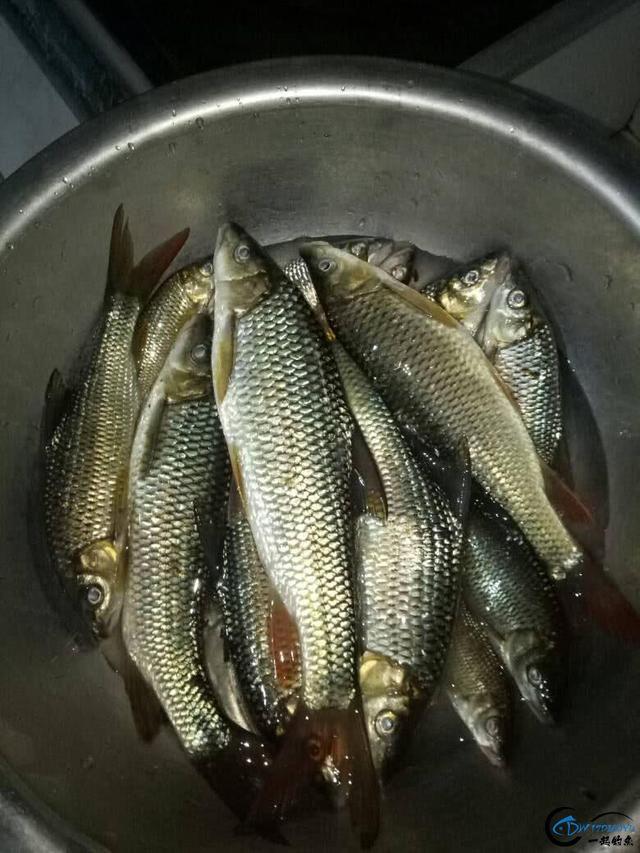 此鱼是西南地区的钓鱼者专属美味,对水质要求极高-19.jpg