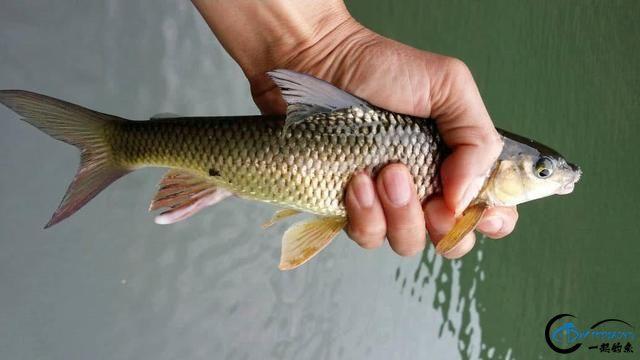 此鱼是西南地区的钓鱼者专属美味,对水质要求极高-15.jpg