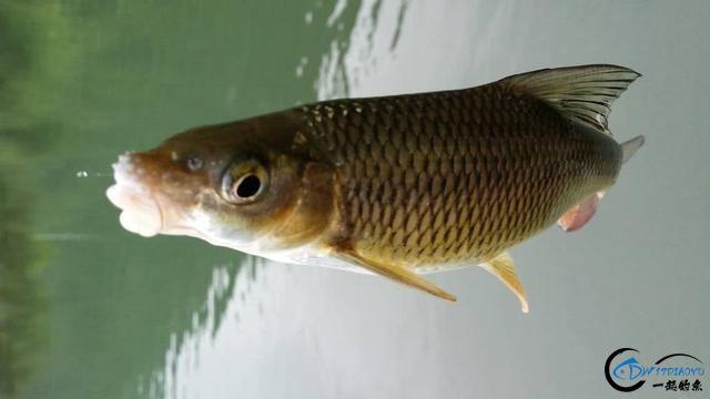 此鱼是西南地区的钓鱼者专属美味,对水质要求极高-14.jpg