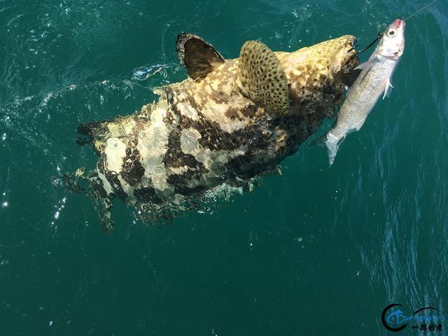 好几斤重的鱼只是被当作鱼饵来用,国内钓鱼人看的咬牙切齿-10.jpg