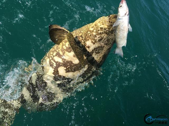 好几斤重的鱼只是被当作鱼饵来用,国内钓鱼人看的咬牙切齿-11.jpg
