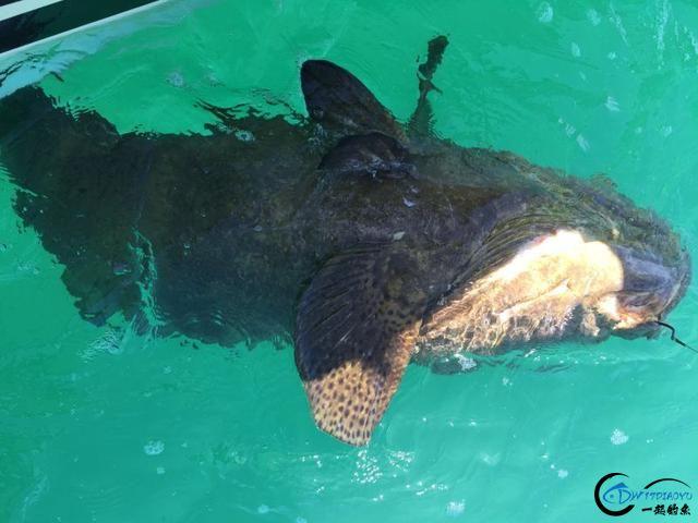 好几斤重的鱼只是被当作鱼饵来用,国内钓鱼人看的咬牙切齿-18.jpg