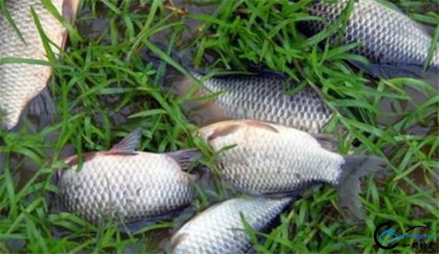 用臭豆腐做的钓鲫鱼窝料配方,鱼获真的很给力-6.jpg