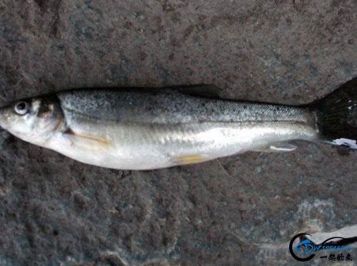 """寻找水中精灵""""细鳞鱼""""很多钓友没见过这种鱼-10.jpg"""