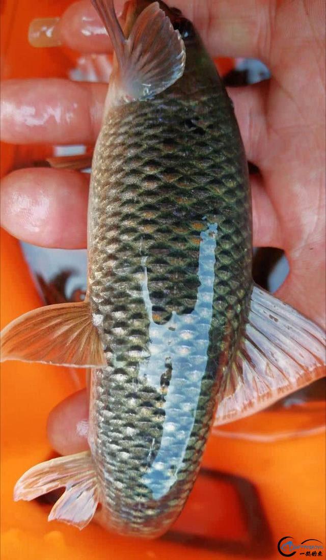 这鱼有着非常的洁癖,只生活在净沙无尘的泉潭之中-10.jpg