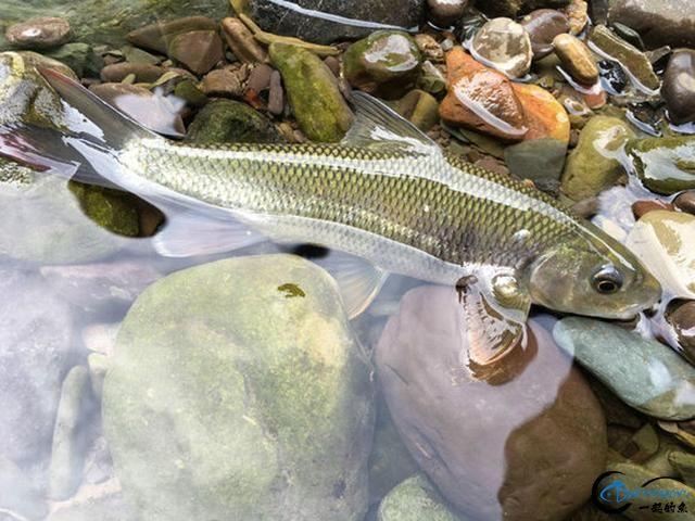 广元溪流里的极品鱼,很多钓鱼人也不认识-2.jpg