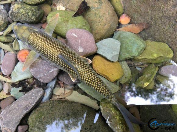 广元溪流里的极品鱼,很多钓鱼人也不认识-3.jpg