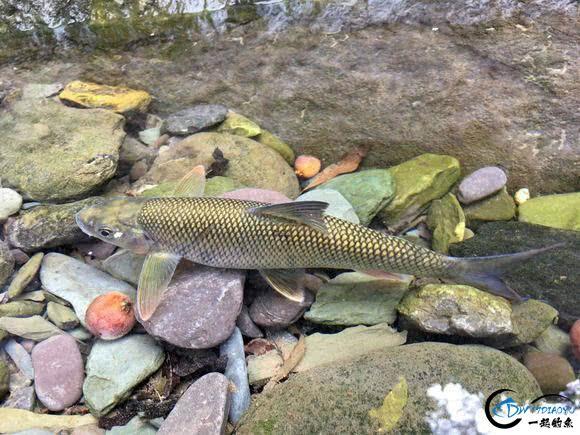 广元溪流里的极品鱼,很多钓鱼人也不认识-9.jpg