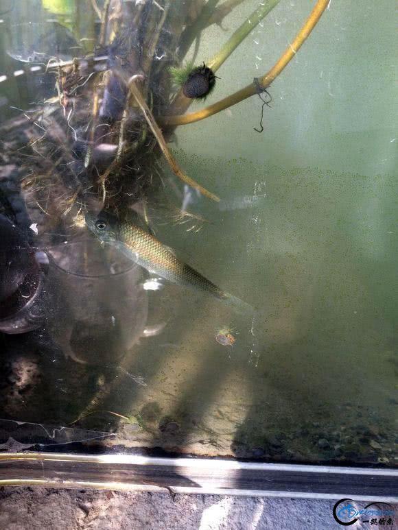 广元溪流里的极品鱼,很多钓鱼人也不认识-10.jpg