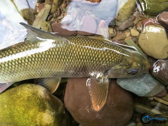 广元溪流里的极品鱼,很多钓鱼人也不认识-12.jpg