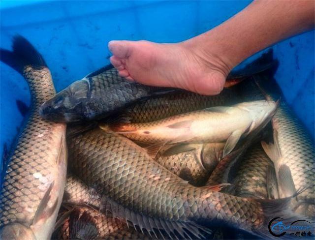 三款诱鱼效果超强的天然小药,钓鲤鱼必备-1.jpg