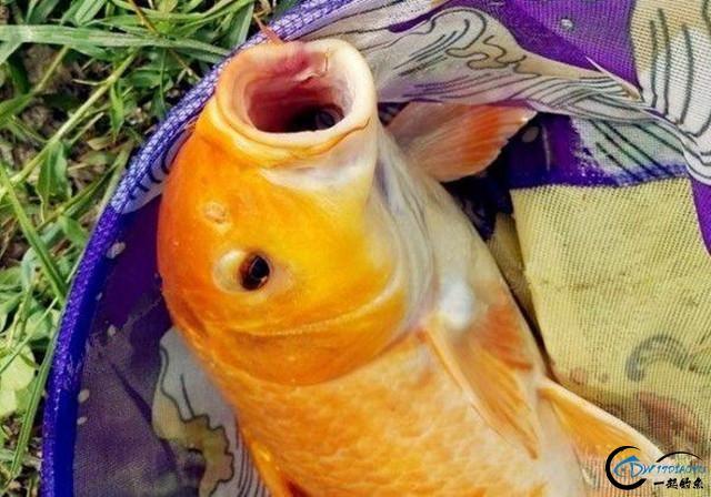 秋季钓鲤鱼的技巧大全,原来鲤鱼索饵最强烈时水温这么高-2.jpg