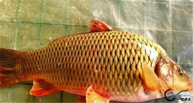 秋季钓鲤鱼的技巧大全,原来鲤鱼索饵最强烈时水温这么高-3.jpg