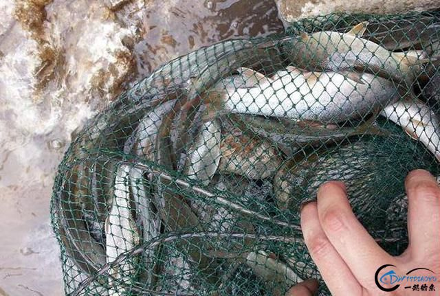 """江钓难得一见的细鳞鱼,当年作为贡品被赞美为""""龙凤之肉""""-10.jpg"""
