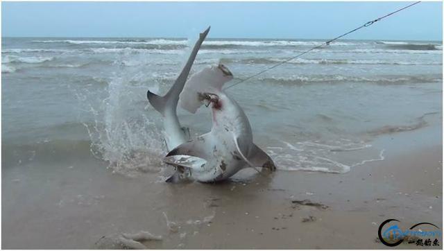 常规的钓鱼已经满足不了这些钓鱼人了,他们已经开始钓鲨鱼了-4.jpg