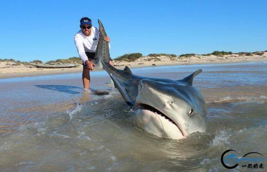 常规的钓鱼已经满足不了这些钓鱼人了,他们已经开始钓鲨鱼了-2.jpg