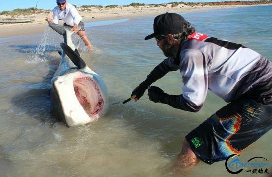 常规的钓鱼已经满足不了这些钓鱼人了,他们已经开始钓鲨鱼了-3.jpg
