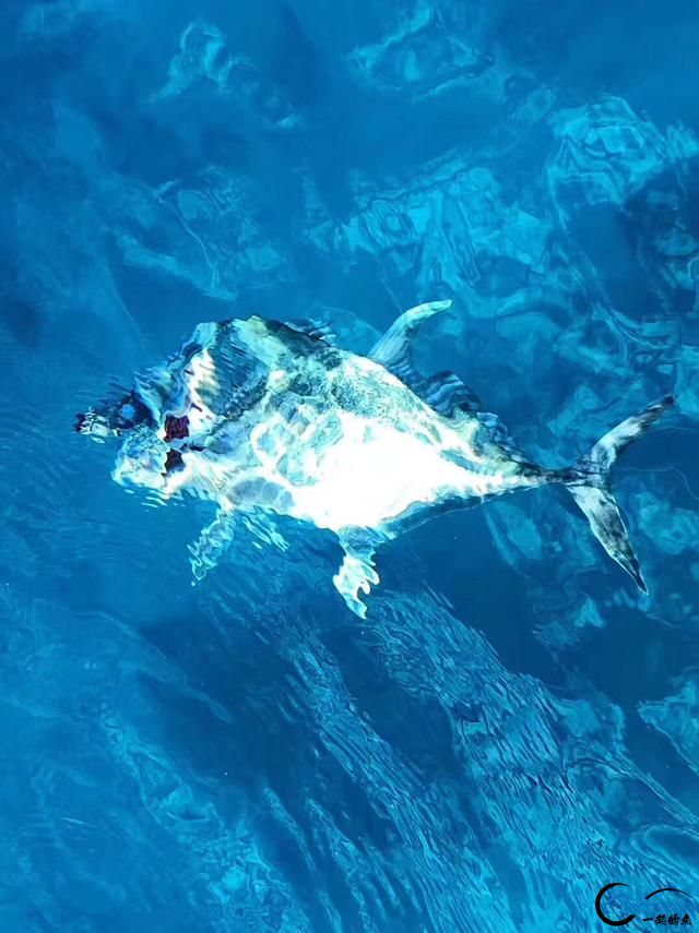 游钓马尔代夫体验了这辈子最疯狂的一次海钓!整个船都钓满了-5.jpg