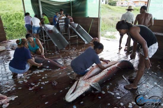 亚马逊河才是钓鱼人的终极钓场,水中巨物无数,就怕你嗨不住-14.jpg