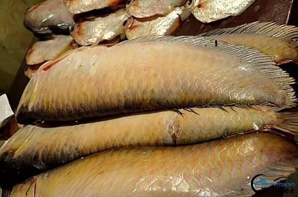 游钓亚马逊钓获巨骨舌鱼后不仅可以烤鱼,鱼皮更能做成皮鞋-11.jpg