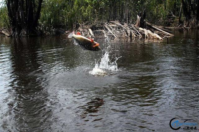 游钓亚马逊的中国钓鱼人,这是用生命在钓鱼啊,渔获真过瘾-7.jpg