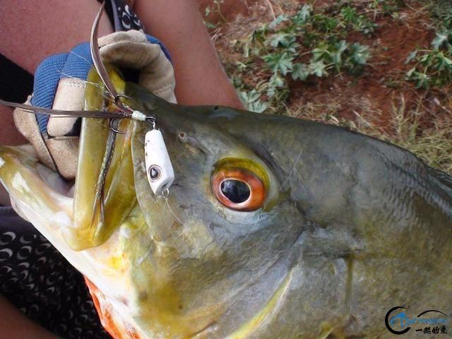 游钓亚马逊的中国钓鱼人,这是用生命在钓鱼啊,渔获真过瘾-10.jpg