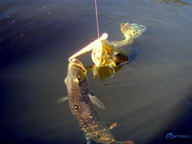 游钓亚马逊的中国钓鱼人,这是用生命在钓鱼啊,渔获真过瘾-6.jpg