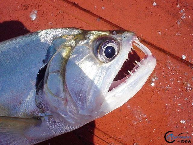 游钓亚马逊的中国钓鱼人,这是用生命在钓鱼啊,渔获真过瘾-17.jpg