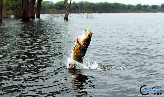 游钓亚马逊钓场纵然很过瘾刺激,但是一定要小心森蚺和巨蟒-1.jpg