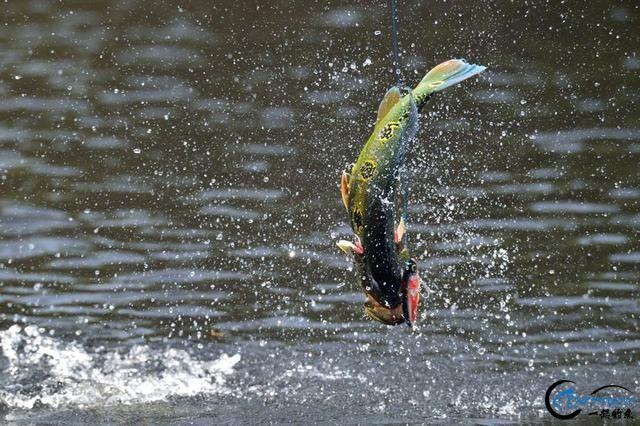 游钓亚马逊钓场纵然很过瘾刺激,但是一定要小心森蚺和巨蟒-3.jpg