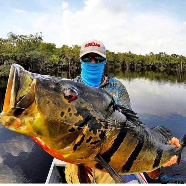 游钓亚马逊钓场纵然很过瘾刺激,但是一定要小心森蚺和巨蟒-5.jpg