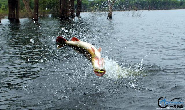 游钓亚马逊钓场纵然很过瘾刺激,但是一定要小心森蚺和巨蟒-2.jpg