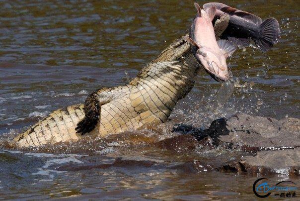 游钓亚马逊河挑战凯门鳄和森蚺,品尝丛林中最为原始的美食-1.jpg