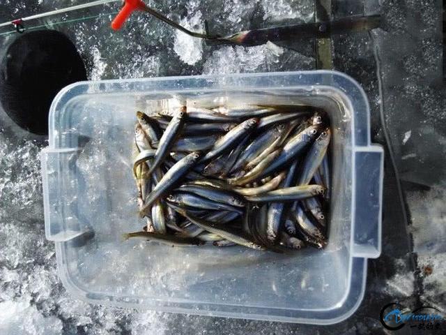 """在北方冰钓""""小公鱼""""要是碰上鱼窝,那杆就根本停不下来-13.jpg"""