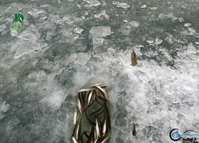 """在北方冰钓""""小公鱼""""要是碰上鱼窝,那杆就根本停不下来-21.jpg"""