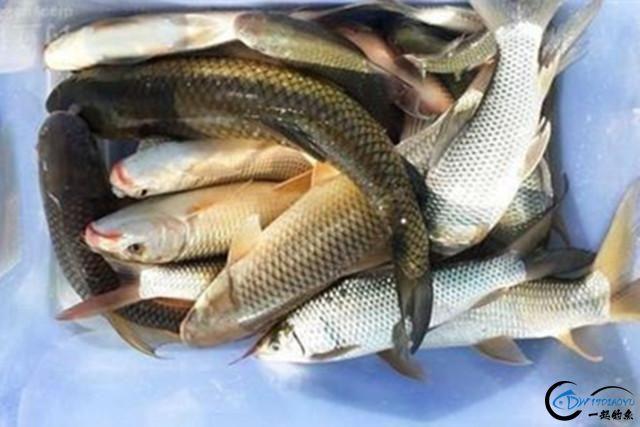 这款纯天然用饵配方,制作过程很简单,鲫鱼、鲤鱼都喜欢!-6.jpg