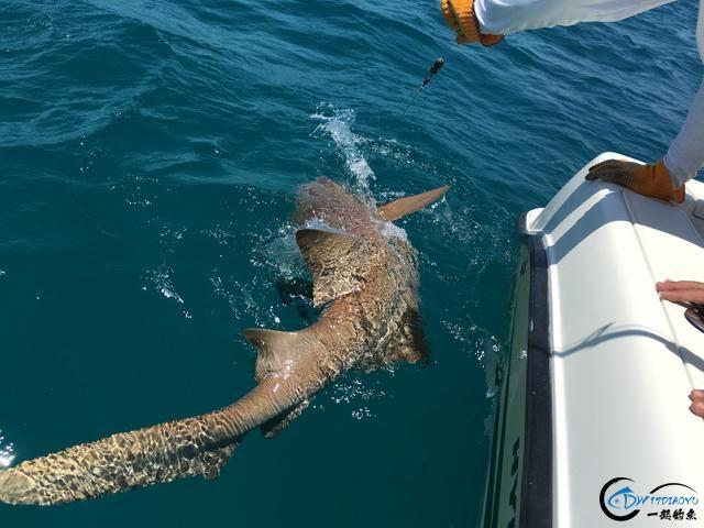 美国大白鲨系列电影看多了,今天总算知道钓鲨鱼到底有多疯狂-11.jpg