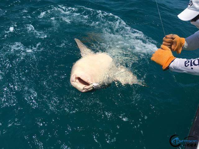 美国大白鲨系列电影看多了,今天总算知道钓鲨鱼到底有多疯狂-18.jpg