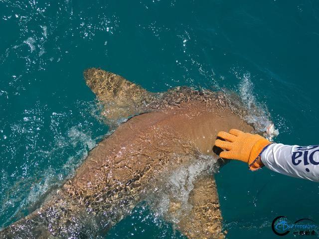 美国大白鲨系列电影看多了,今天总算知道钓鲨鱼到底有多疯狂-19.jpg