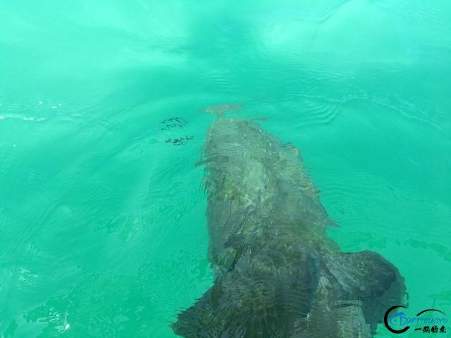 300磅的巨型石斑3分钟被狂拉出水,麒麟臂已经修炼大成境界-13.jpg