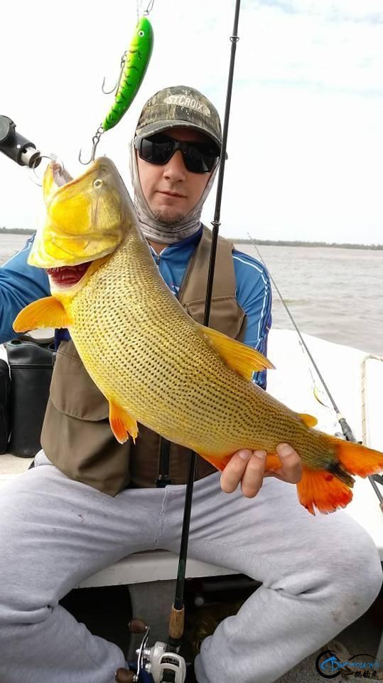 如此漂亮的黄金河虎鱼竟引来无数的吃货,被逼无奈烤两条尝尝-9.jpg