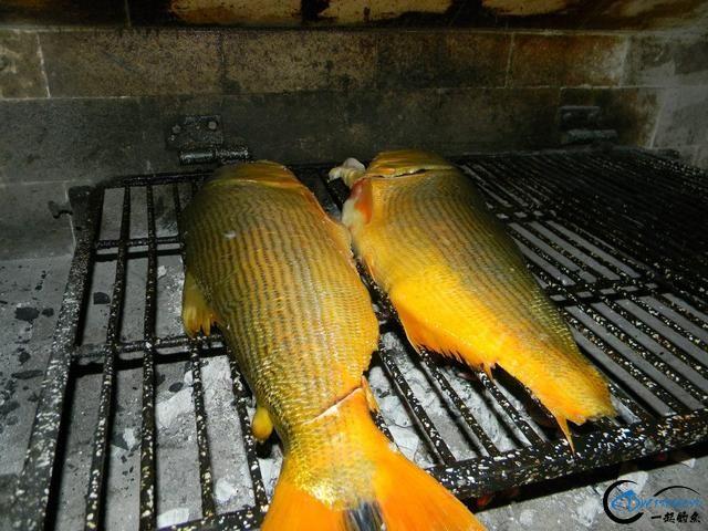如此漂亮的黄金河虎鱼竟引来无数的吃货,被逼无奈烤两条尝尝-15.jpg