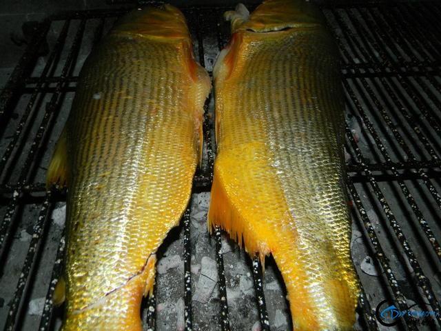 如此漂亮的黄金河虎鱼竟引来无数的吃货,被逼无奈烤两条尝尝-16.jpg