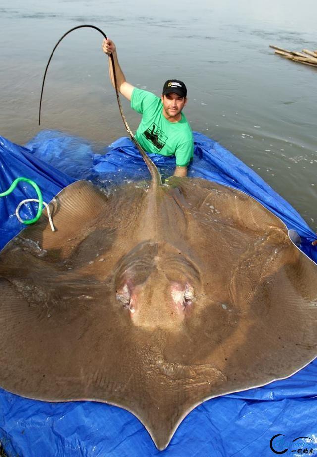 湄公河巨型魔鬼鱼才是淡水钓终极目标,让你知道什么才是大鱼-5.jpg